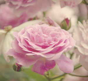 L'eau de rose, un produit miracle indispensable de toutes les salles de bain