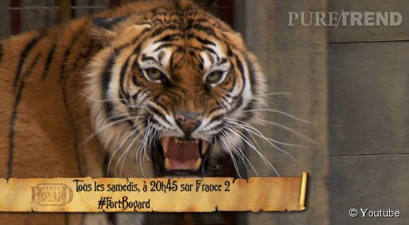 Il faut dire que les tigres n'avaient pas vraiment l'air très accueillants.