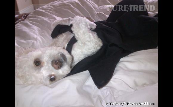 Harry, le royal canin de Victoria Beckham.