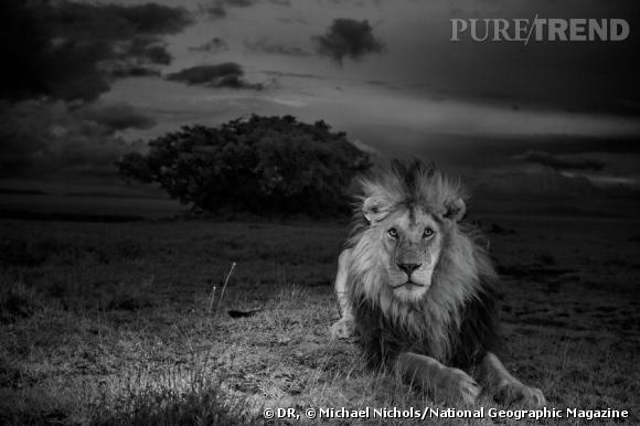 """Parc national du Serengeti, Tanzanie, 2012.  """"Si j'ai passé une bonne partie de mon temps dans le Parc national du Serengeti à étudier les lionnes de la horde Vumbi, notamment leur façon d'élever les lionceaux malgré les difficultés de la vie dans les plaines, entre abondance et pénurie, le reportage actuel s'intéresse surtout à ce lion à la crinière noire, que les chercheurs ont prénommé C boy. Photo prise à l'aide d'infrarouges invisibles."""" Extrait d'un article sur les lions du Serengeti qui sera publié dans le numéro d'août 2013 du magazine National Geographic."""